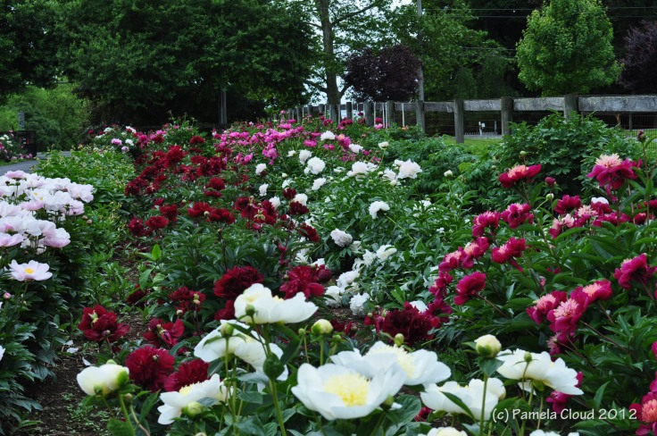 A Peony Garden, Edgmont PA