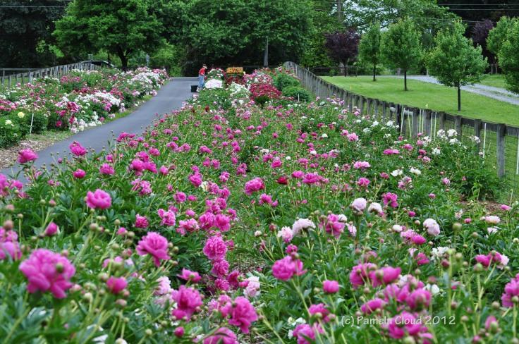 A Peony Garden, Edgmont