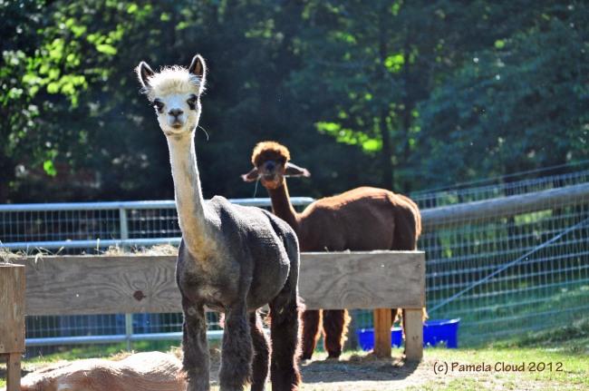 Trotter Hill Alpacas, Glen Mills, PA