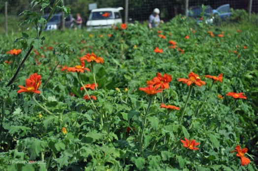 Mexican Sunflowers at Hillside Farm in Media, PA