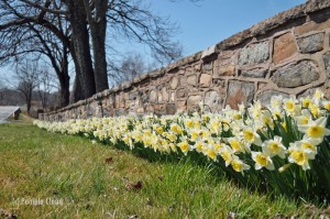 Daffodils on Glen Mills road