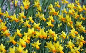 Thornbury Daffodils