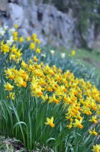 Creek Road Daffodils