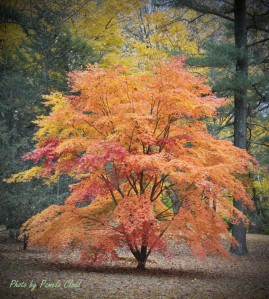 Japanese Maple in West Chester