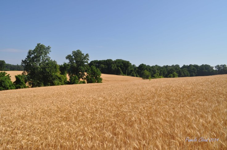 Amber Waves of Grain by Pamela Cloud